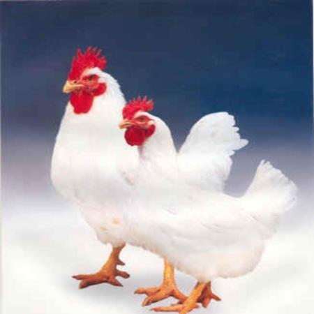 饲料价格持续上涨,如何降低肉鸡养殖成本?重点应关注造肉成本