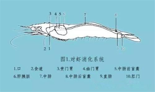 南美白对虾肝胰腺的形态结构,发育过程和病变过程