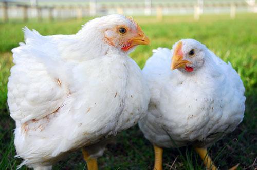 肉鸡坏死性肠炎与球虫混合感染的特点、危害、诱因及其防控措施