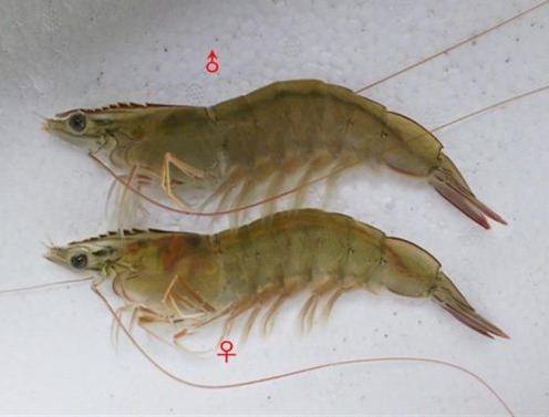 杜仲叶提取物对凡纳滨对虾生长、免疫酶活性及肝胰腺组织的影响