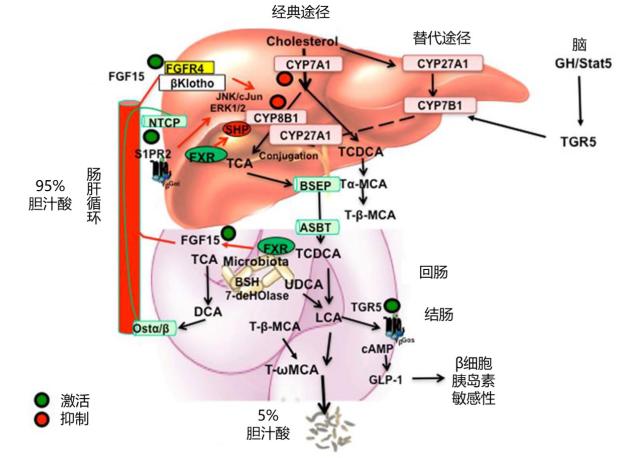 肝脏病理生理中的胆汁酸信号