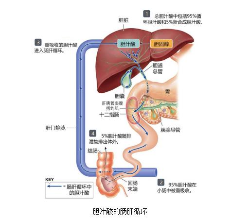 体检中的总胆汁酸TBA是个啥?