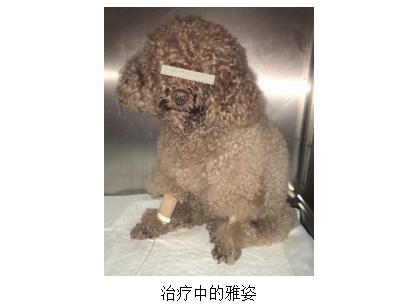 泰迪案例:宠物医院针对狗狗老年病的治疗方案,胆汁酸保肝护肝延寿命!