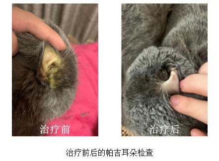 蓝猫案例:宠物医院针对猫咪脂肪肝及黄染的治疗方案,胆汁酸保肝祛黄