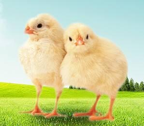 高剂量胆汁酸对肉鸡生长性能、临床血液代谢物及器官发育的影响