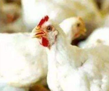 日粮中不同能量和胆汁酸水平对肉鸡生长性能和脂质代谢的影响